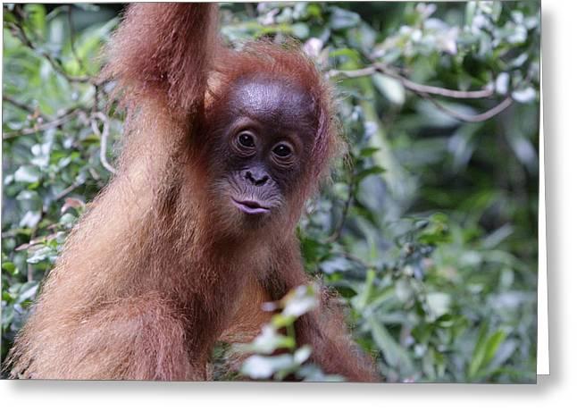 Young Orangutan Kiss Greeting Card