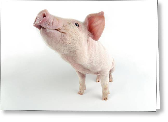 Young Pig Greeting Card by John Daniels