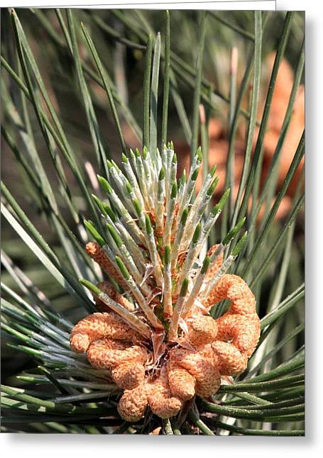 Young Pine Cone  Greeting Card by Ramabhadran Thirupattur
