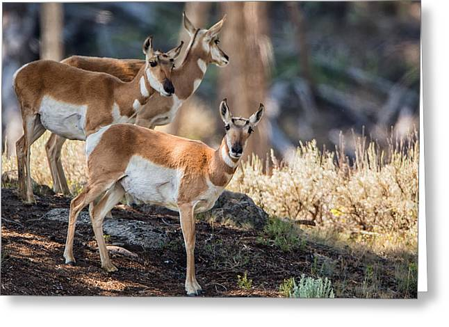 Young Pronghorn At Yellowstone Greeting Card by Andres Leon