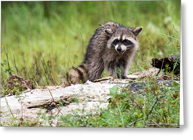 Young Raccoon Greeting Card