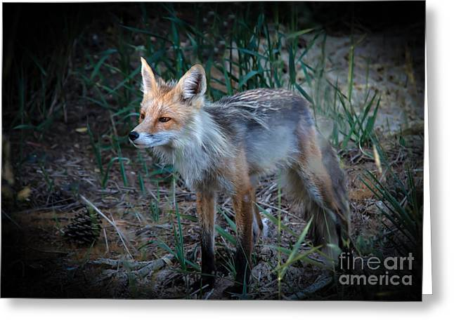 Young Red Fox Greeting Card by Robert Bales