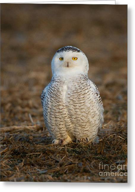 Young Snowy Owl Greeting Card