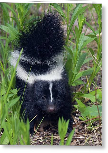 Young Striped Skunk Greeting Card by Ken Archer