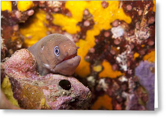 Young White Eyed Moray Eel  Greeting Card