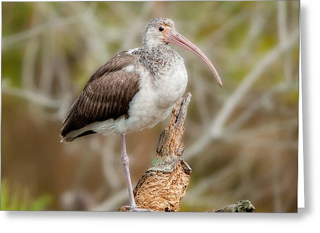 Young White Ibis Greeting Card by Lara Ellis