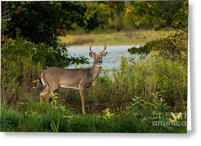 Young White-tailed Buck Greeting Card by Linda Freshwaters Arndt