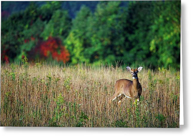 Young Whitetail Spike Buck In Autumn Greeting Card