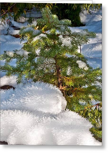 Young Winter Pine Greeting Card