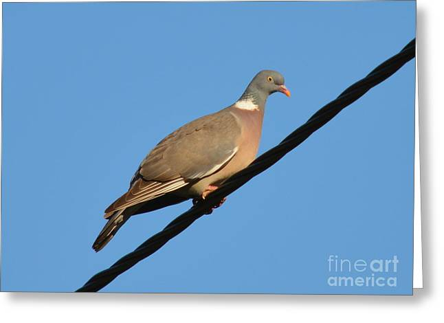 Young Wood Pigeon by Bishopston Fine Art