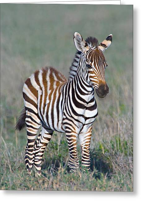 Young Zebra Standing In A Field Greeting Card