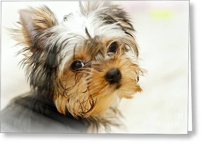 Yourkshire Terrier Puppy Looking  Loveable Greeting Card by Jan Tyler