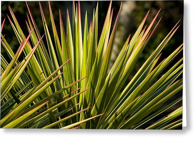 Yucca 1 Greeting Card by Frank Tozier