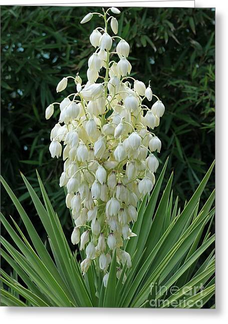 Yucca Blossoms Greeting Card by Christiane Schulze Art And Photography