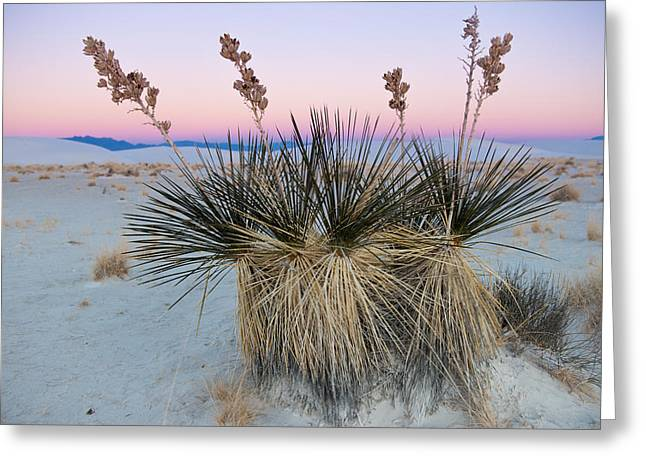 Yucca Dawn Greeting Card by Roger Clifford