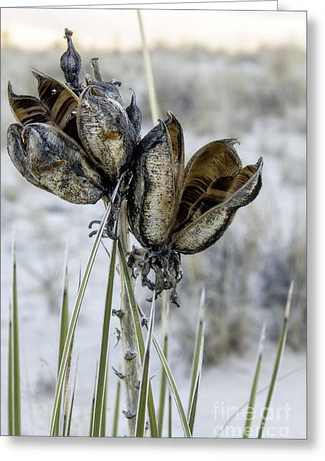 Yucca Seed Pods Greeting Card