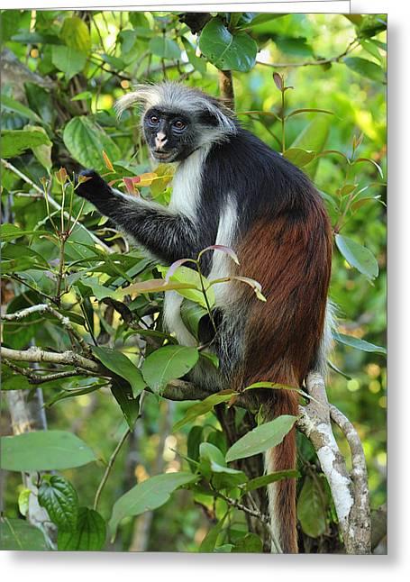 Zanzibar Red Colobus In Tree Jozani Greeting Card
