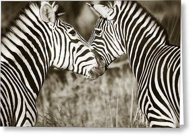 Zebra Affection Greeting Card