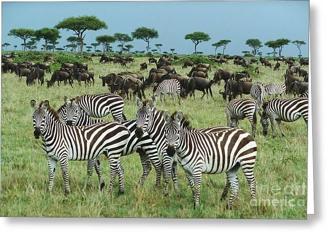 Zebra And Wildebeest Grazing Masai Mara Greeting Card by Yva Momatiuk and John Eastcott