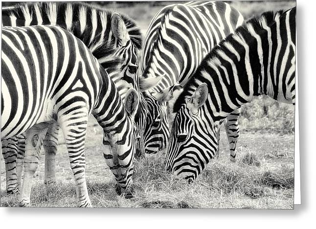 Zebra Dinner Time   Greeting Card by Raymond Earley