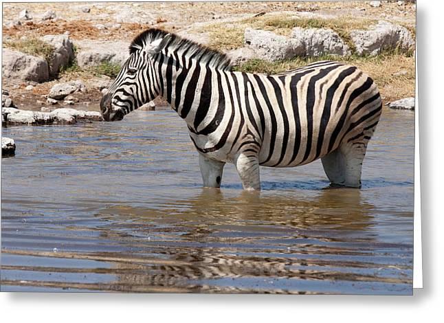 Zebra (equus Quagga Burchellii Greeting Card