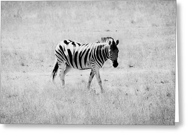 Zebra Explorer Greeting Card by Melanie Lankford Photography