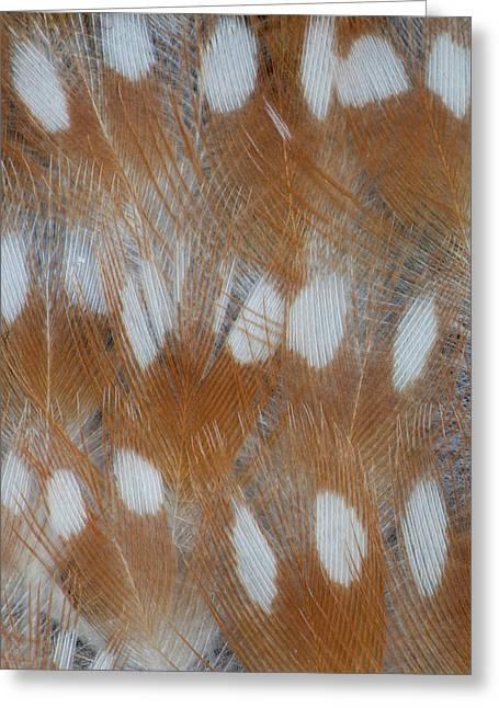 Zebra Finch Feathers Of A Fawn Mutation Greeting Card by Darrell Gulin