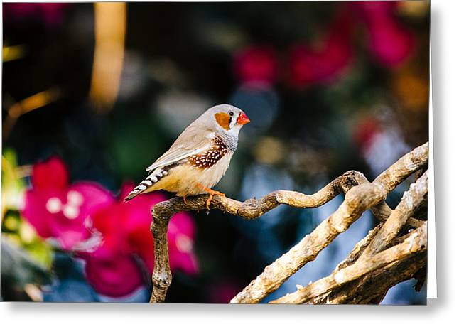 Zebra Finch Greeting Card by Pati Photography