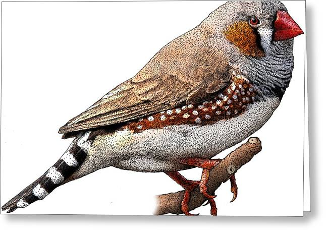 Zebra Finch Greeting Card by Roger Hall
