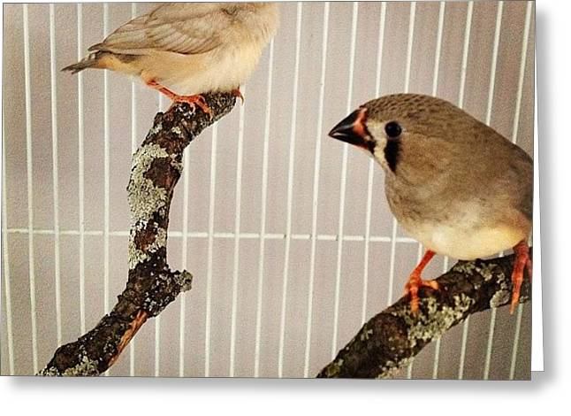 Zebra Finches Greeting Card