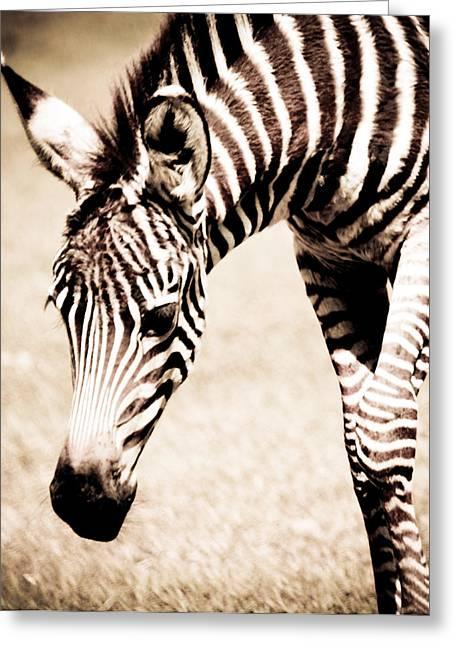 Zebra Foal Sepia Tones Greeting Card