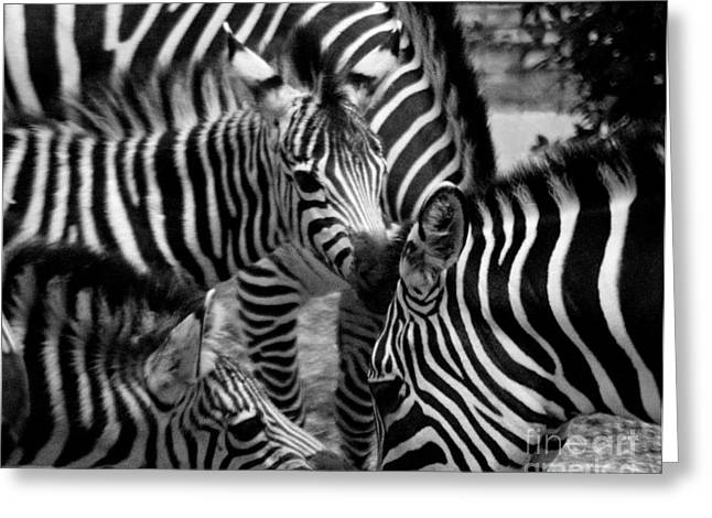 Greeting Card featuring the photograph Zebra In A Crowd by Tom Brickhouse