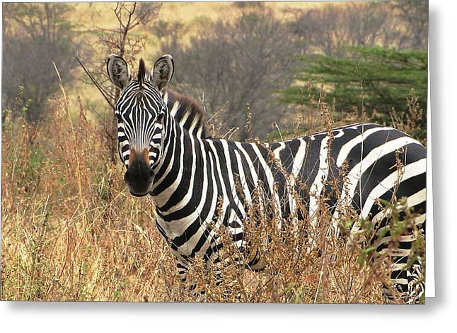 Zebra In Serengeti Greeting Card by Nature and Wildlife Photography