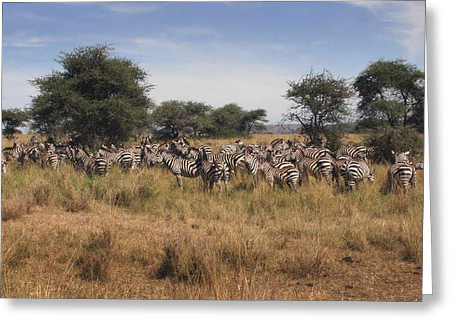 Greeting Card featuring the photograph Zebra by Joseph G Holland