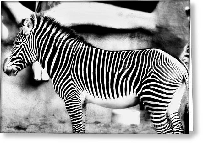 Greeting Card featuring the photograph Zebra by Kristine Merc