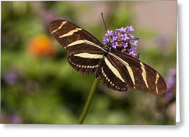 Zebra Longwing Butterfly Greeting Card by Adam Romanowicz
