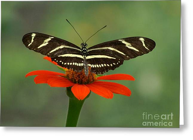 Zebra Longwing Butterfly Greeting Card by Liz Masoner