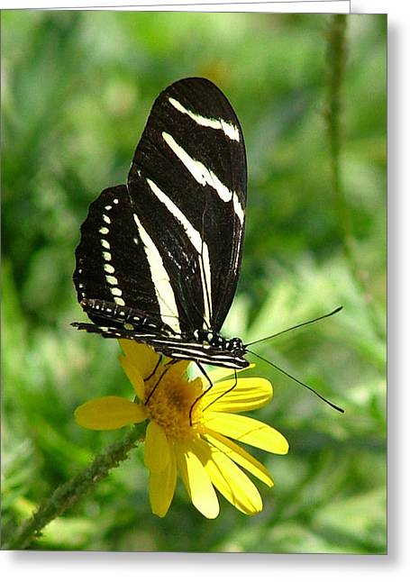 Zebra Longwing Butterfly On Yellow Daisy - 109 Greeting Card