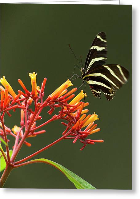 Zebra Longwing On Fire Bush Flowers Greeting Card