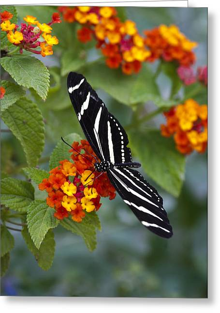 Zebra Longwing On Lantana Greeting Card by Saija  Lehtonen