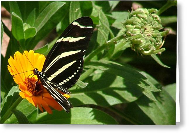 Zebra Longwing On Orange Flower - 105 Greeting Card