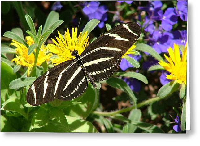 Zebra Longwing On Yellow With Purple Flowers - 104 Greeting Card