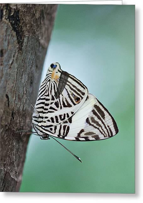 Zebra Mosiac Butterfly Greeting Card by Zoe Ferrie