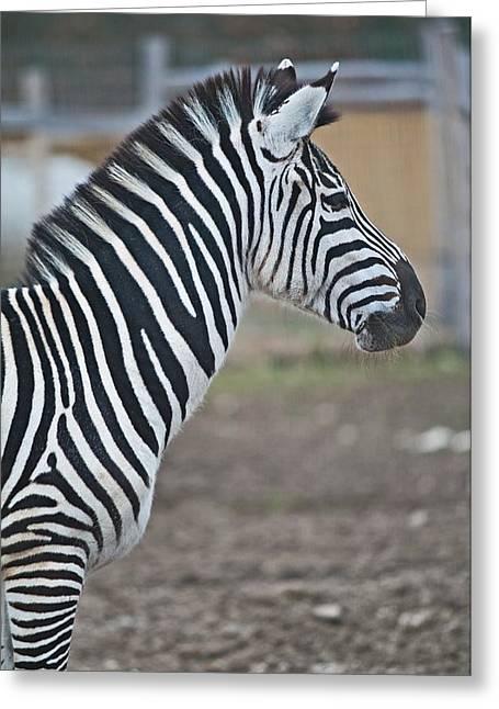 Zebra Greeting Card by Noze P