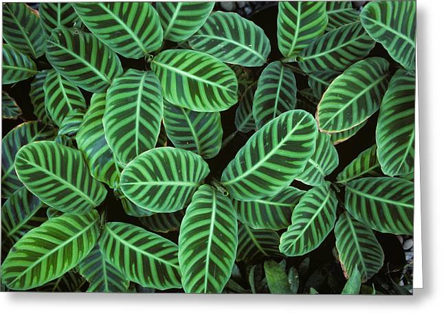 Zebra Plant Leaves Manila Philippines Greeting Card