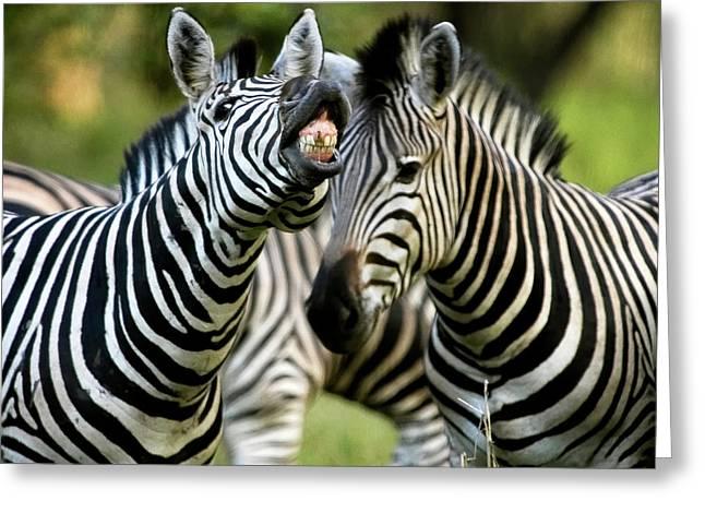 Zebra Showing Its Teeth, Equus Quagga Greeting Card