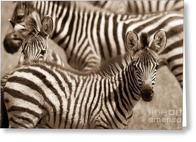 Zebra Stripes Galore Greeting Card