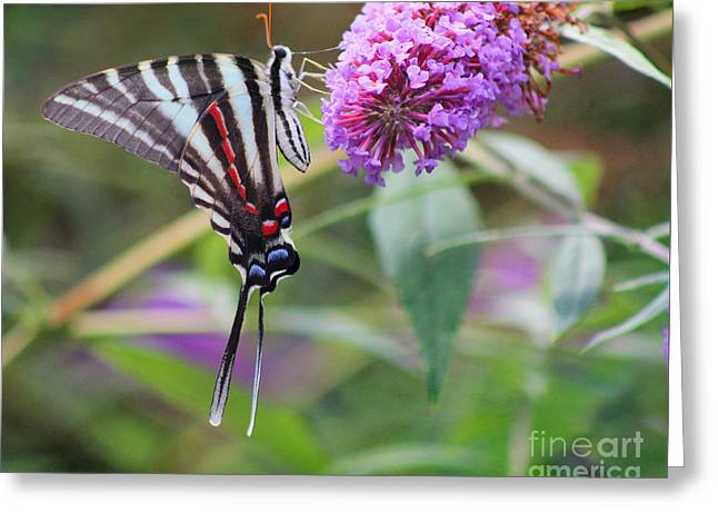 Zebra Swallowtail Butterfly On Butterfly Bush  Greeting Card