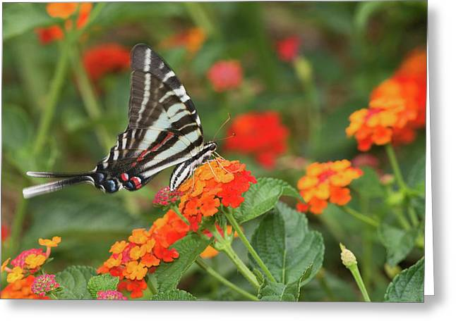 Zebra Swallowtail Eurytides Marcellus Greeting Card by Panoramic Images