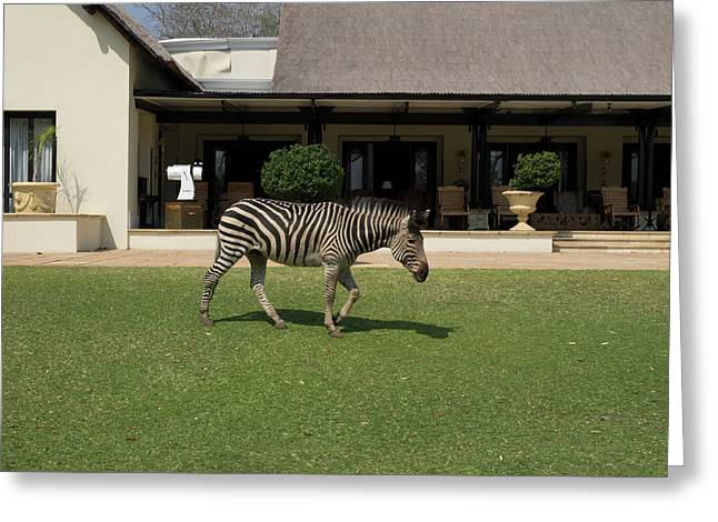 Zebra Walking Across Grass At Royal Greeting Card by Panoramic Images